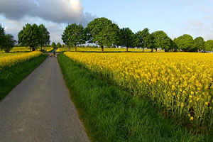 Walking Im Rapsfeld